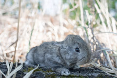 Het konijntjeskonijn die van het katoenstaartkonijn gras eten Stock Afbeeldingen