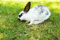 Het konijntjeskonijn die van het katoenstaartkonijn gras eten Stock Foto's