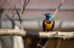 Het koninklijke starling zit op een tak Royalty-vrije Stock Foto's