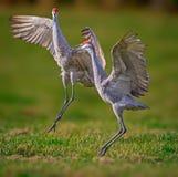 Het koppelen sandhill kranendans in de lucht Royalty-vrije Stock Foto's