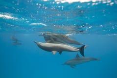 Het koppelen van de dolfijnen van de Spinner in de wildernis. Royalty-vrije Stock Afbeeldingen