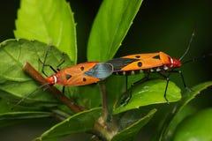 Het Koppelen van de Insecten van het schild Stock Fotografie
