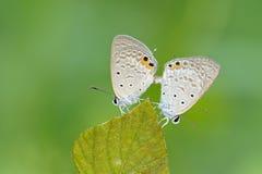 Het koppelen van de vlinder Stock Foto
