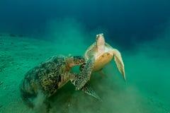 Het koppelen van groene schildpadden in het Rode Overzees stock foto's