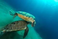 Het koppelen van groene schildpadden in het Rode Overzees stock fotografie