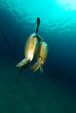 Het koppelen van groene schildpadden in het Rode Overzees royalty-vrije stock foto's