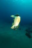 Het koppelen van groene schildpadden in het Rode Overzees royalty-vrije stock foto