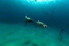 Het koppelen van groene schildpadden in het Rode Overzees royalty-vrije stock afbeelding