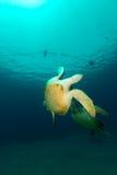 Het koppelen van groene schildpadden in het Rode Overzees stock afbeeldingen