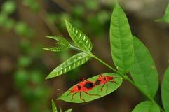 Het koppelen van insecten Royalty-vrije Stock Foto