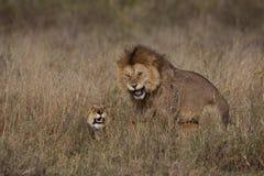 Het Koppelen van leeuwen Royalty-vrije Stock Afbeeldingen