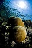 Het koraal van de bal Royalty-vrije Stock Foto's