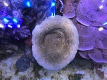 Het koraal van de olifantshuid Stock Fotografie