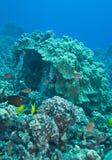 Het koraal van de paddestoel Stock Fotografie