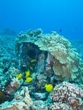 Het koraal van de paddestoel Royalty-vrije Stock Afbeeldingen