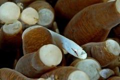 Het koraal van de paddestoel pipefish Stock Fotografie