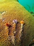 Het koraal van de ster Stock Foto's