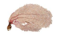 Het koraal van de ventilator stock foto