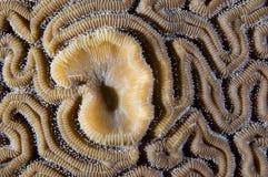 Het Koraal van hersenen Stock Foto