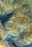 Het koraal van het leer Stock Foto's