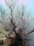 Het koraal van Seafan Stock Foto's