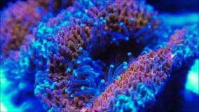 Het koraal videoklem van Micromussahersenen stock video