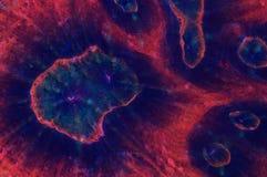 Het koraalkolonie van Australomussarowleyensis Stock Afbeeldingen