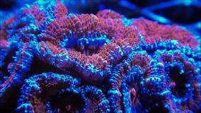 Het koraalpoliepen van Micromussahersenen stock videobeelden