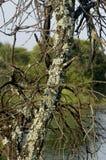 Het korstmos van Caperat het grwoing op een dode boom Royalty-vrije Stock Afbeeldingen