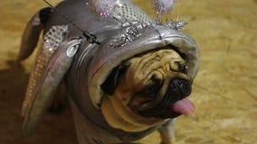Het kostuum van de verbazende met de hand gemaakte hond, pug die kostuum van zilveren kosmisch schepsel dragen stock videobeelden