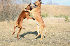 Het krachtige honden spelen Stock Afbeeldingen