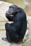 Het krassen van de chimpansee Royalty-vrije Stock Fotografie