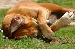 Het krassen van de hond Stock Afbeeldingen