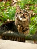 Het krassen van de kat stock foto