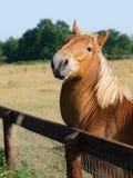 Het Krassen van de Paarden van de Stempel van Suffolk Royalty-vrije Stock Foto