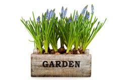 Het krat van de tuin met Muscari Royalty-vrije Stock Fotografie
