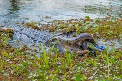 Het krokodille aanvallen kan Stock Fotografie