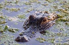 Het krokodille Letten op   Royalty-vrije Stock Afbeeldingen