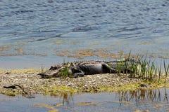 Het krokodille Rusten Royalty-vrije Stock Afbeeldingen