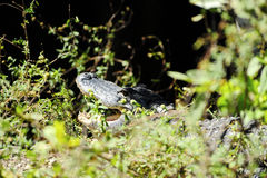 Het krokodille verbergen in het gras Royalty-vrije Stock Afbeeldingen