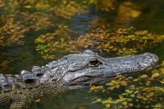 Het krokodille Zwemmen, Groot Cipres Nationaal Domein, Florida Stock Foto