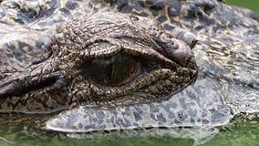 Het krokodiloog bekijkt de camera stock videobeelden