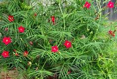 Het kronkelen van Cipreswijnstok met roze bloem en spichtige naaldbladeren Stock Foto's