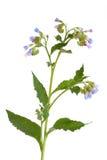 Het Kruid van de smeerwortel met Bloemen Royalty-vrije Stock Afbeeldingen