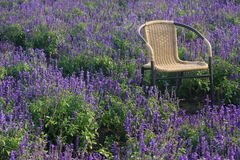 Het kruiden Gebied van de Lavendel Royalty-vrije Stock Foto's