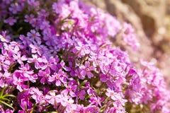 Het kruipen subulata van de floxflox of mosflox op bloembed stock fotografie