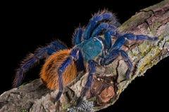 Het kruipen van de tarantula royalty-vrije stock afbeeldingen