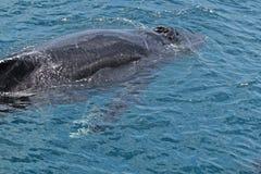 Het kruisen van de walvis Stock Afbeelding