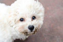 Het krullende puppy van bichon frise stock foto's