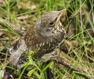 Het kuiken dat uit het nest viel zit in grasclos Royalty-vrije Stock Foto
